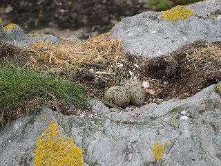 [Oyster Catchers Nest]