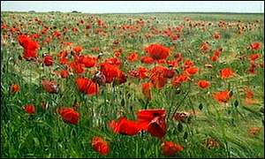 [Poppies growing on the Somme. BBC]