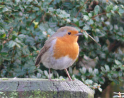 [Robin Redbreast down at Waterfoot]